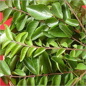FRESH_CURRY_LEAVES